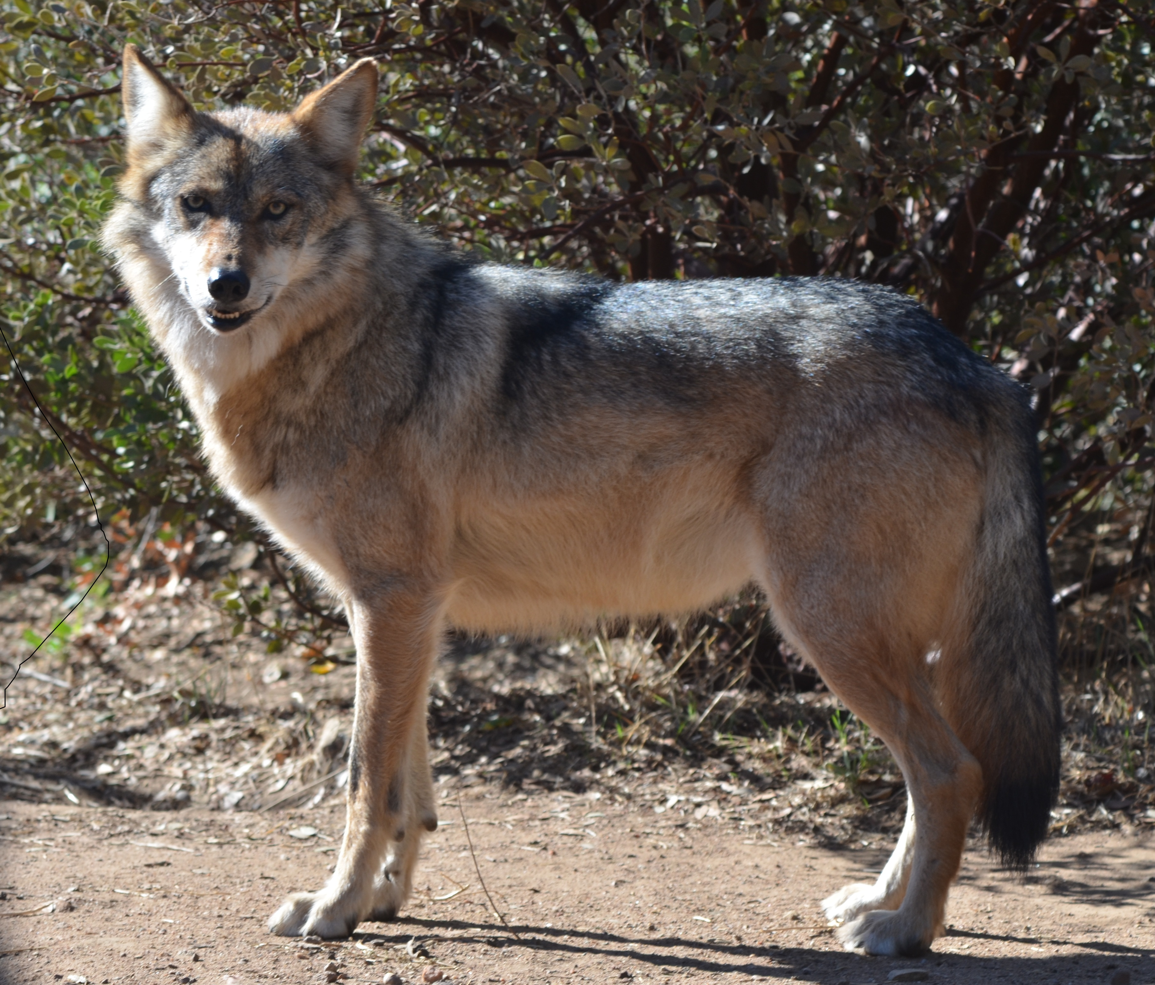 Mexican Wolf 01