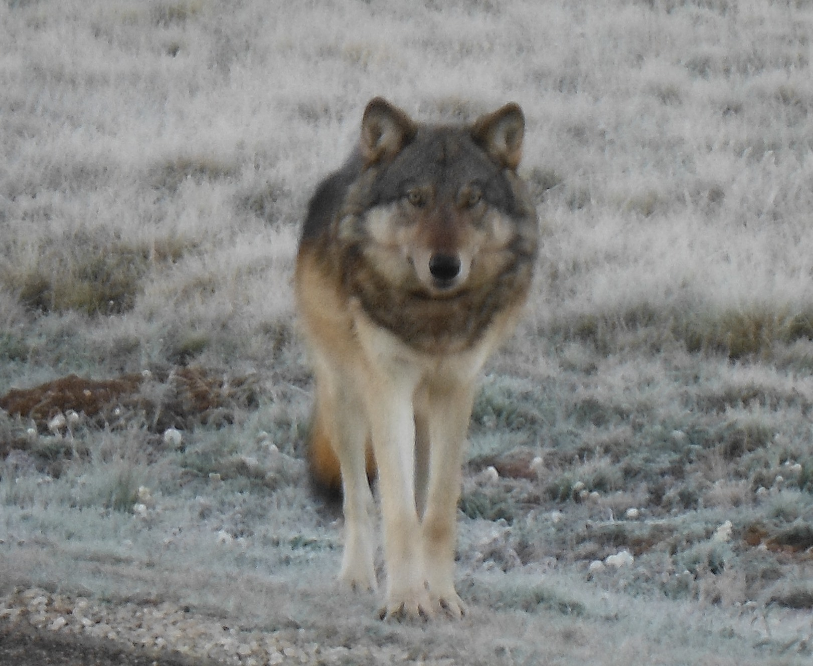 North Rim Wolf-NPS via Crumbo