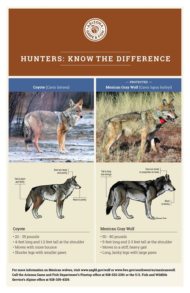 AZGFD coyote Mexican wolf comparison graphic