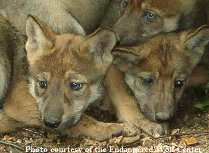 Mexican wolf pups by Endangered Wolf Center