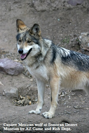 SDMuseum Mexican Wolf -AZGFD