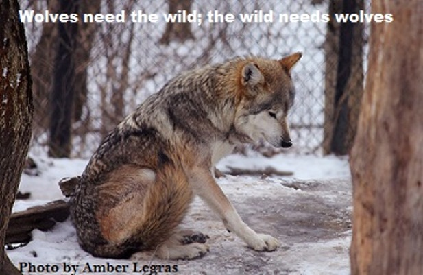 mexican wolf stock 22 by Amber Legras